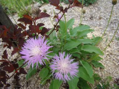 Aetheopappus pulcherrimus