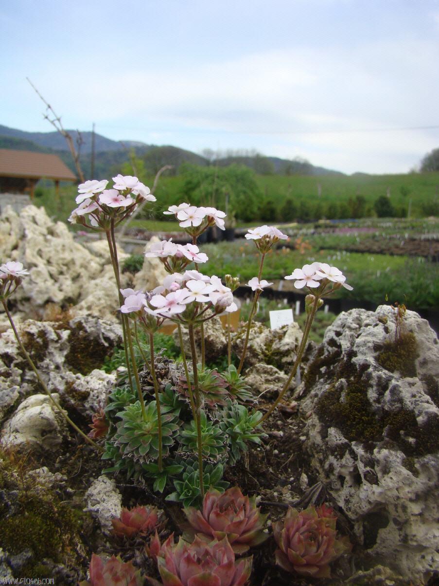 plantes de rocaille pour terrain sec finest plantes de rocaille pour terrain sec with plantes. Black Bedroom Furniture Sets. Home Design Ideas