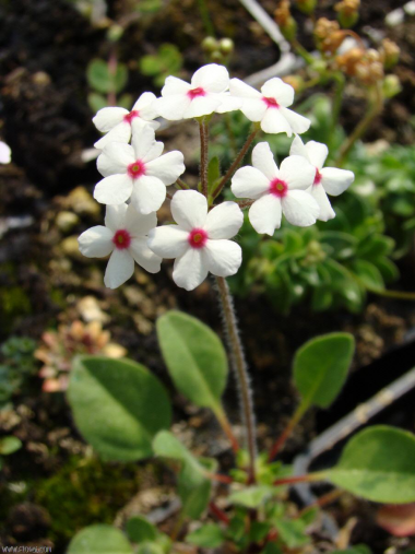 Androsace limprichtii