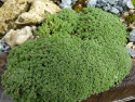 Arenaria alfacarensis