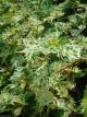 Boehmeria spicata 'Chantilly'