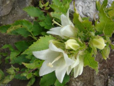 Campanula alliariifolia ssp.alliariifolia
