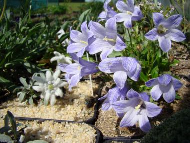 Campanula dasyantha ssp. chamissonis