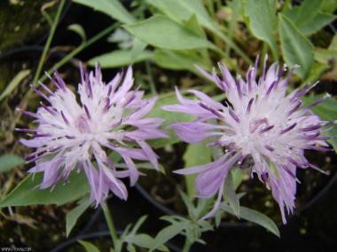 Centaurea biokovensis