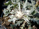 Centaurea cana