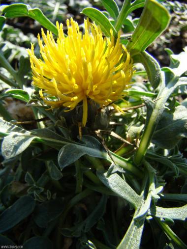 Centaurea pestalozzae