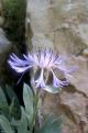 Centaurea stricta