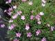 Dianthus arpadianus ssp.pumila
