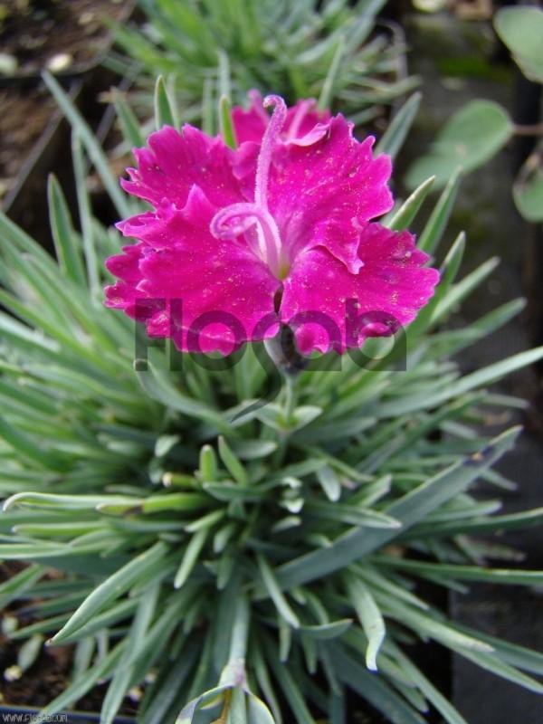 Dianthus caesius 'Trovatello'