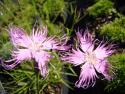 Dianthus hyssopifolius ssp.hyssopifolius