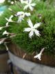 Dianthus x 'Berlin snow'