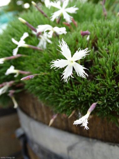 Dianthus x 'Berlin snow'