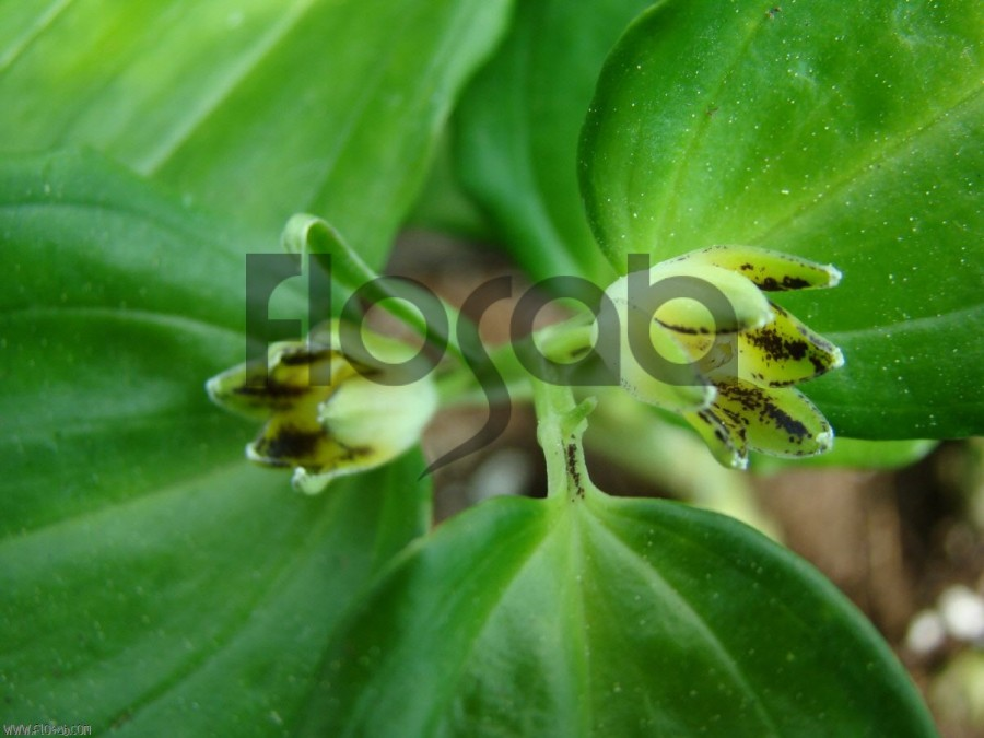 Disporopsis fuscopicta plante d 39 ombre for Plantes a commander