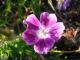 Geranium sanguineum 'Elke'