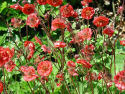 Geum rivale 'Flam of passion'