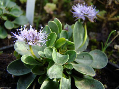 Globularia incanescens