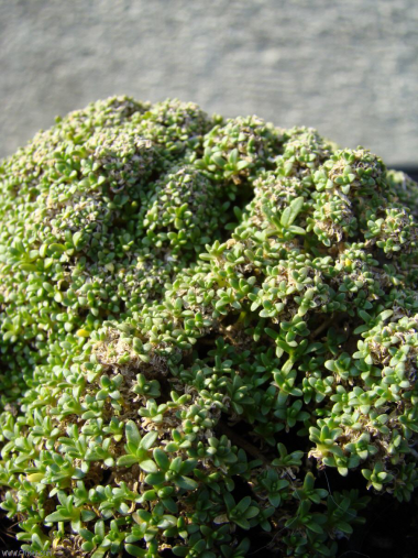 Gypsophila aretioides