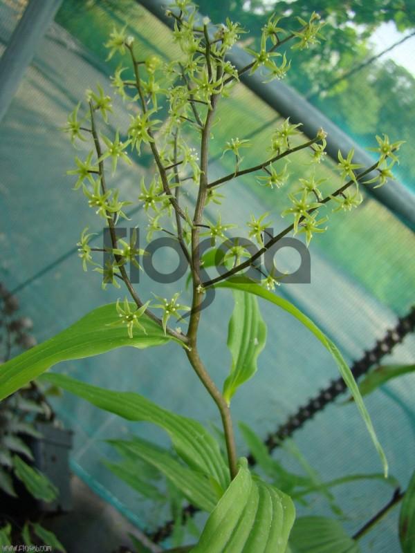 Maianthemum tatsienense