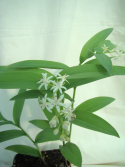 Maianthemum stellatatum