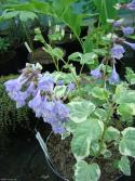 Meehania urticifolia 'wandering minstrel'