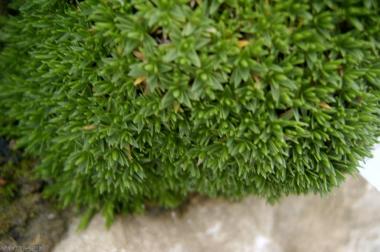 Minuartia stellata (Grèce)