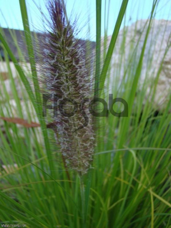 Pennisetum alopecuroides 'Magic'