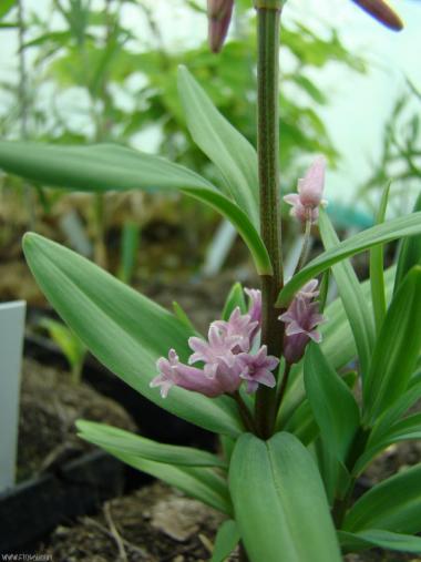 Polygonatum roseum