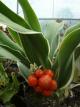 Rohdea japonica 'Aurea'