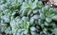 Rosularia rosulata