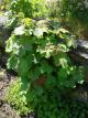 Rubus setchuenensis