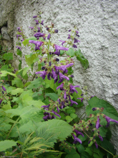 Salvia glabrescens