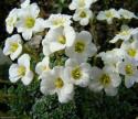 Saxifraga marginata var.coriophylla