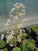 Saxifraga x 'Southside seedling'