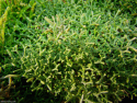 Selaginella borealis