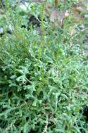 Selaginella sanguinolenta