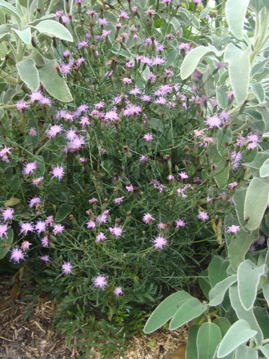 Serratula seoanei plante de rocaille for Commander des plantes en ligne