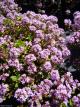 Thymus longicaulis