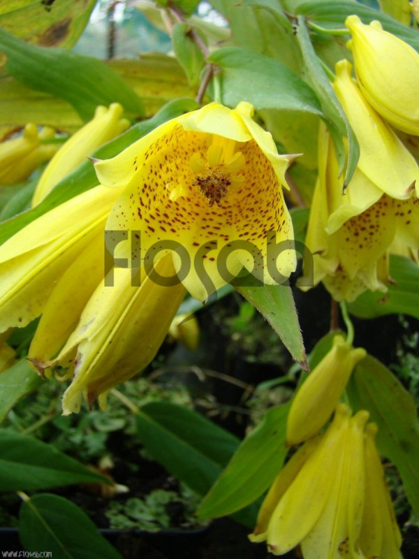 Tricyrtis ishiiana var.surugensis