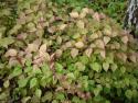 Veronicastrum aff. latifolium
