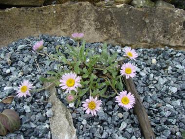Xanthisma coloradoensis