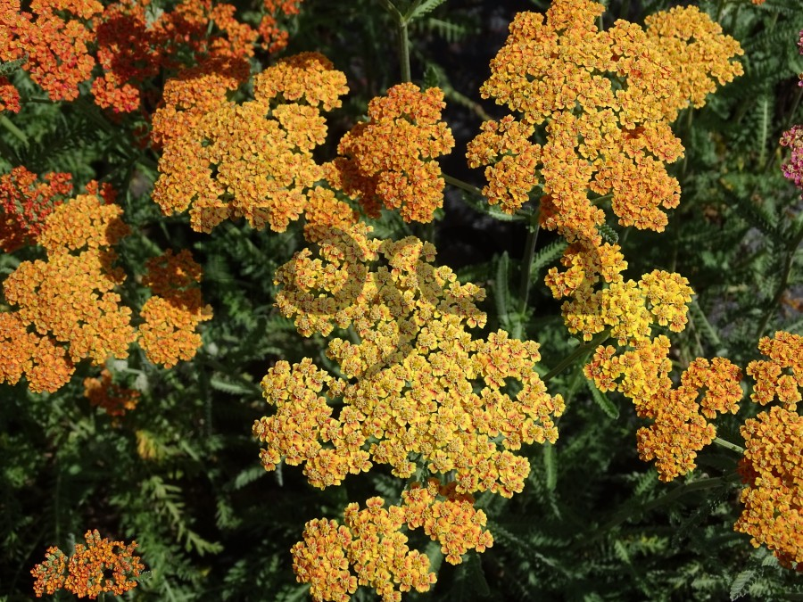 achillea millefolium 39 terracotta 39 plante massif de soleil. Black Bedroom Furniture Sets. Home Design Ideas