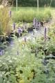 Agastache foeniculum 'Black adder'