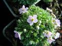 Androsace globifera