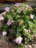 Androsace mucronifolia x sempervivoides