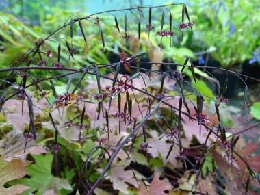 Diaspananthus uniflorus