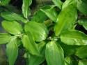 Disporopsis jinfushanensis