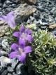 Edraianthus pumilio