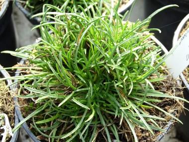 Edraianthus horvatii