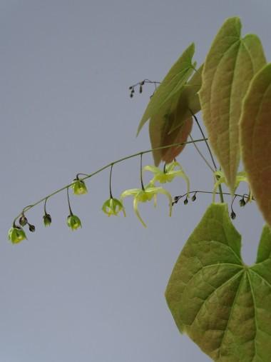 Epimedium baojingense