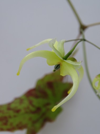 Epimedium chlorandrum OG94003